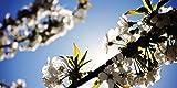 White Cherry Blossom - 2ft x 4ft Drop Ceiling Fluorescent Decorative Ceiling Light Cover Skylight Film
