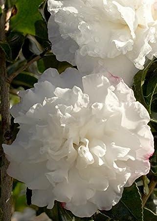Amazon 2 gallon october magic snow camellia compact 2 gallon october magic snow camellia compact evergreen blooming shrub white flowers in mightylinksfo