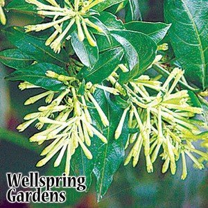 Night Jasmine Blooming (Cestrum nocturnum Night Blooming Jasmine LIVE PLANT Queen of the Night, Night blooming Jessamine, Raat ki Rani)
