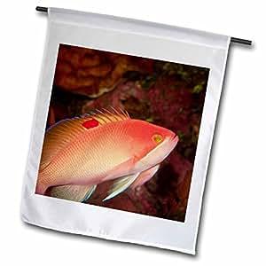 Danita Delimont - Fish - Anthias fish, Milne Bay, Papua New Guinea - OC12 SWS0054 - Stuart Westmorland - 18 x 27 inch Garden Flag (fl_84970_2)