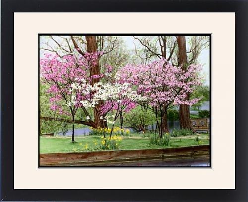 Framed Artwork of Prunus (Flowering Cherry Tree) in blossom