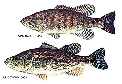 Amazon.com: Fish Classification Poster, Largemouth Bass, Smallmouth ...