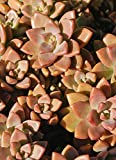 Graptosedum 'BRONZE' Succulent CHOICE-Leaf/Rosette cutting,Pre-wired,Plants