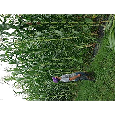 35 Tall Giant Goliath White Corn Seeds-1206, - Limits : Garden & Outdoor