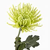Wholesale Fresh Cut Spider Mums (Chrysanthemum) from the Farm (100 Green)