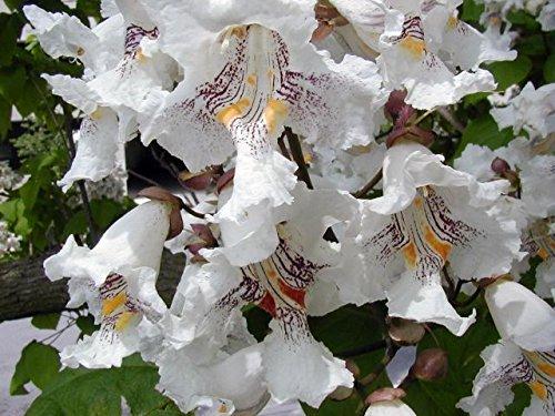 Inches Catalpa speciosa Live Northern Catalpa Tree Seedling Starter Plug 8-12