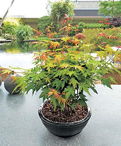 50 Pcsbag Maple Seed Foliage Plants Bonsai Tree Shrub Home Garden