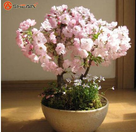 100 PCS Japanese Sakura Seeds Cherry Blossoms Seeds Japanese Cherry Cerasus Yedoensis Biji Bonsai Flower Seeds