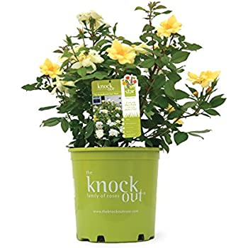 Knock Out Roses - Rosa Sunny Knock Out (Rose) Rose, yellow flowers, #3 - Size Container