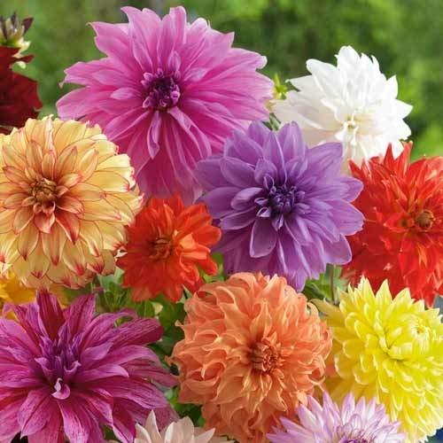 GL Seeds Dahlia...