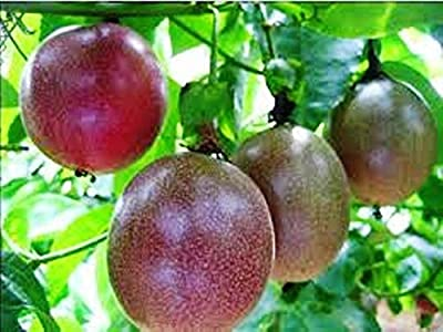 "Passion Fruit ""Possum Purple"" Price Includes Four (4) Plants"