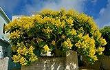 Golden Rain Tree Koelreuteria Elegans Organic 30 Seeds GBP 001