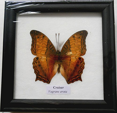 Thai BTF01T Butterfly Collection Taxidermy product image