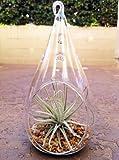 Airplant Tillandsia Oaxacana Teardrop Terrarium