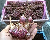 3 oz Yacon Smallanthus sonchifolius very RARE RAW EDIBLE FRUT easy plant 2018