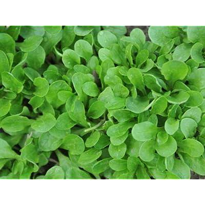 Corn Salad Seeds - 500 Lamb's Lettuce Seeds, Mache/valerianella Locusta, Lettuce Seeds for Planting, Non GMO Corn Salad, Lettuce Seed Ground Vegetable Garden : Garden & Outdoor