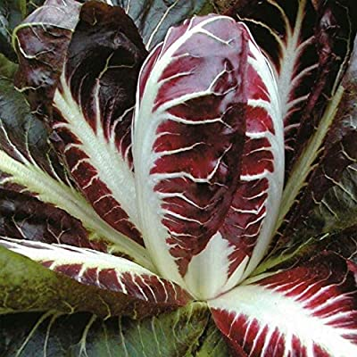 Radicchio Seeds, Rossa di Treviso -Deep Brilliant Red- Flavorful bite to Salads!(25 - Seeds) : Garden & Outdoor