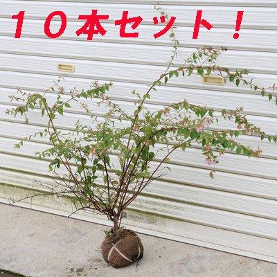桃色の豪華な生垣に出来ます!庭木:アベリア(あべりあ) エドワードゴーチャ H:約40-50cm 10本セット B00FNITHAS