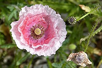 Amazon 1000 Pink White Poppy Papaver Somniferum Flower Seeds
