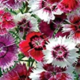 "Chinese Pinks ""Dianthus Chinensis"" 150 Seeds"