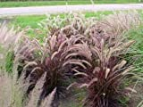 50 PURPLE FOUNTAIN GRASS Ornamental Pennisetum Seeds