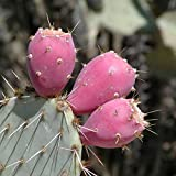 1 Cutting, Pink Fruit Prickly Pear Cactus Pad, Opuntia engelmannii, Cold Hardy.