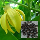 "20 Seeds Ylang-ylang tree, Cananga odorata Tree ""kenangaw"" Yello flower tropical"