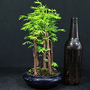 Falsa secuoya, Metasequoia, bonsái para exterior, bosque, 10 años, altura 23 cm