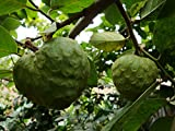10 Seeds Annona cherimola Fruit Shrub Cherimoya, Custard Apple