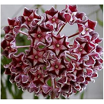 Amazoncom Hoya Carnosa Multi Coloured Hindu Rope Wax Plant