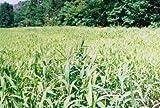 Brown Top Millet Seeds''Premium Florida Grown'' 10 lbs.