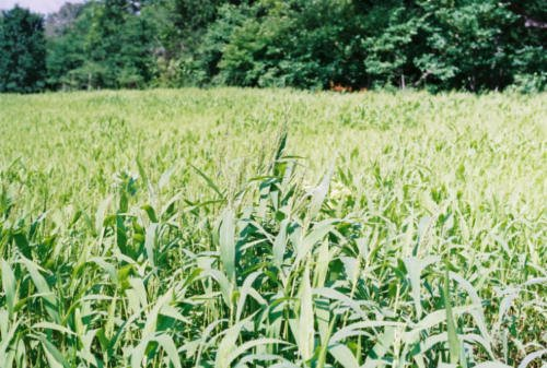 Brown Top Millet Seeds''Premium Florida Grown'' 10 lbs. by SeedRanch (Image #1)