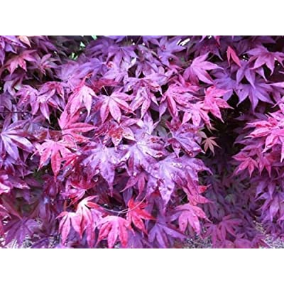 15 PCS American Purple Maple Tree Seeds T13, Gardening Trees Air Purifier : Garden & Outdoor