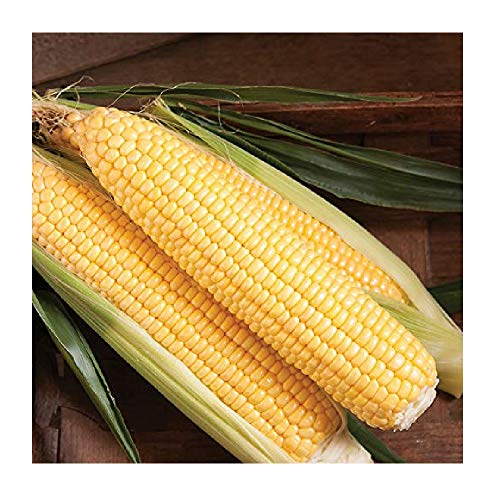 David's Garden Seeds Corn Super Sweet 3778SV (Yellow) 100 Non-GMO, Hybrid Seeds