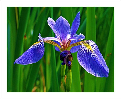 50+Wild Blue/Rocky Mountain IRIS Seeds American Native Wildflower Flag Lilly