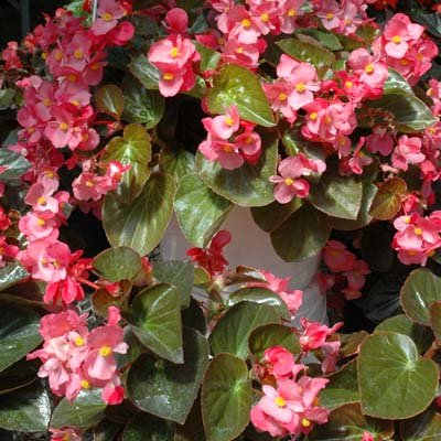 Begonia - BIG Bronze Leaf Rose F1 - Flower Seeds