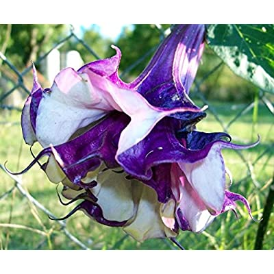 Double Lavender Angels Trumpet 6 Seeds Datura: Toys & Games