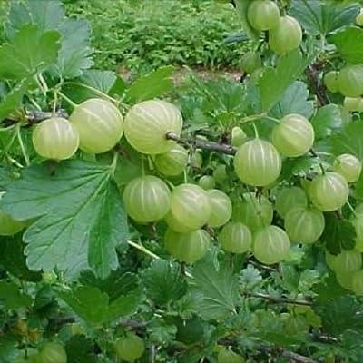Gooseberry - 'Pixwell' - Ribes hirtellum