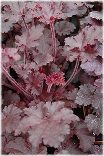 25 MELTING FIRE HEUCHERA Coral Bells Red Purple Leaves White Shade Flower Seeds