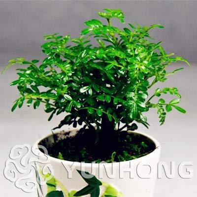 Go Garden Bonsai 50pcs Japanese Pistacia weinmannifolia Bonsai - Bonsai Tree Evergreen Bonsai Home Gardening: ()