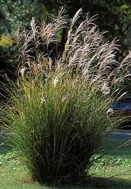 (Chinese Silver Grass 25 Seeds -)