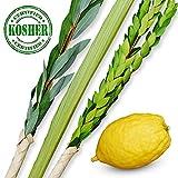 KOSHER LULAV AND ETROG | Complete Arba Minim Set for Sukkot Holiday | Includes Lulav Holder and Comprehensive Lulav Guide | Delivered Fresh in Innovative Protective Packaging