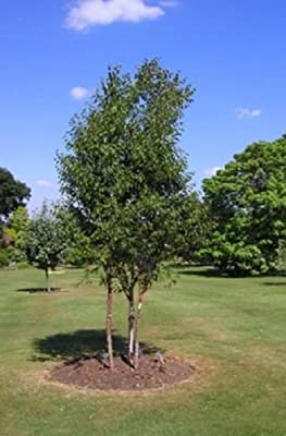 15+ Red Chinese Birch Tree Seeds / Perennial / Betula / Fast Growing / Hardy