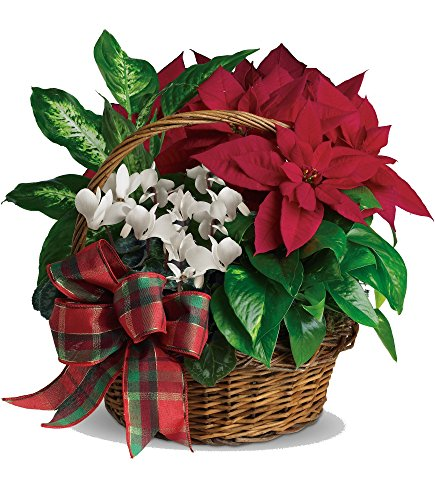 Plaza Flowers - Poinsettia Holiday Plant Basket - Premium