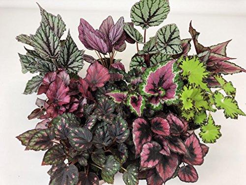 Rex Begonia Variety Pack (4 Plants) (4
