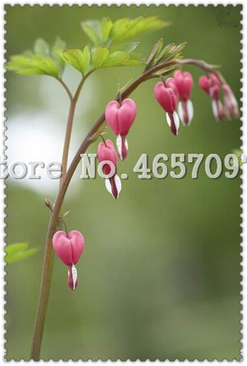 Other Asian, E. Indian Jewelry Anklets 200 Pcs Heart Flower Bonsai Dicentra Spectabilis Sweet Heart Wallet Peony Flowers For Garden Plant Rare Shade Perennial Flower