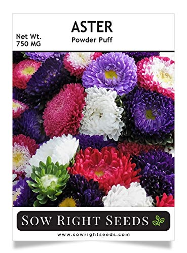 Sow Right Seeds Powder Puff Aster Seeds - Full Instructions for Planting, Beautiful to Plant in Your Flower Garden; Non-GMO Heirloom Seeds; Wonderful Gardening Gift (1)