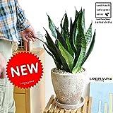 LAND PLANTS サンスベリア・ゼラニカ 茶色エッグポット植えた サンセベリア Sansevieria Zeylanica