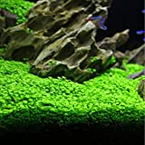 Aquarium Plants Seeds Aquatic Glossostigma Hemianthus Callitrichoides Water Grass Seeds for Fish Tank Rock Lawn Garden Decor -Large Leaf