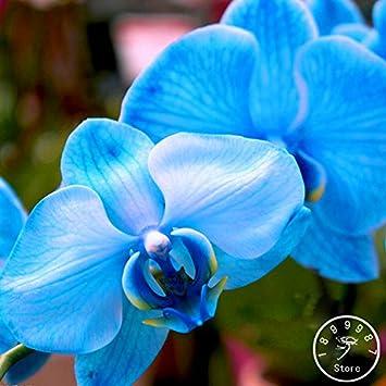 Sale! Seltene Bonsai Blumen-blaue Schmetterlings-Orchidee Samen ...